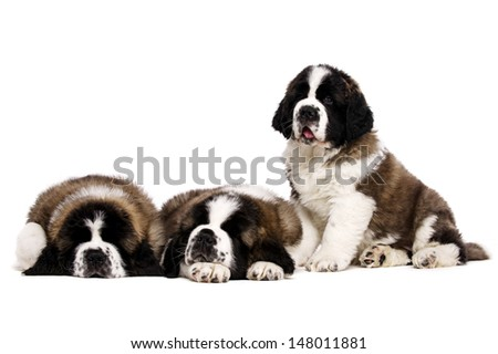 Three St Bernard puppies isolated on a white background together - stock photo