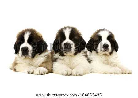 Three St Bernard Puppies laid together isolated on a white background - stock photo