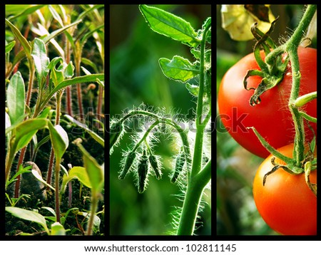 Three stages of the growing tomatoes - stock photo