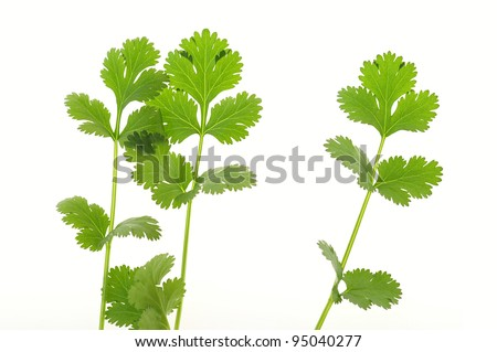 Three stalk of coriander on a white background