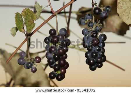 Three stalks of black grapes. Close up of three stalks of black grapes. - stock photo