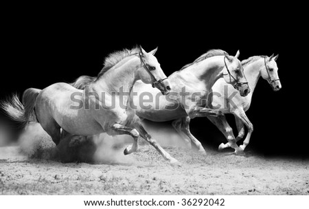 three stallions on black galloping in dust - stock photo