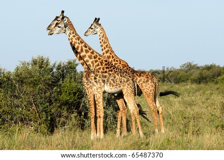 Three standing giraffes in  the Masai Mara Reserve (Kenya) - stock photo