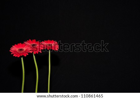 Three standing red flowers isolated on a black background - stock photo