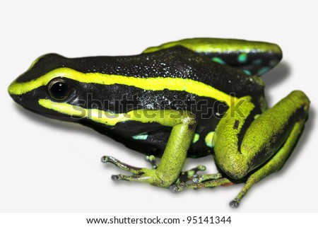 Three-striped Poison Dart Frog (Ameerega trivittata) in the Peruvian Amazon Cutout and Isolated with space for text - stock photo