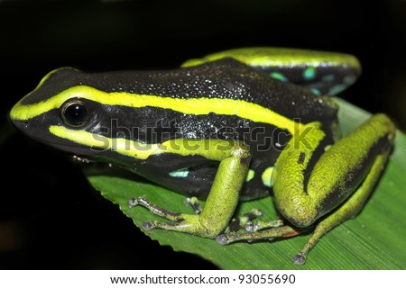 Three-striped Poison Dart Frog (Ameerega trivittata) in the Peruvian Amazon