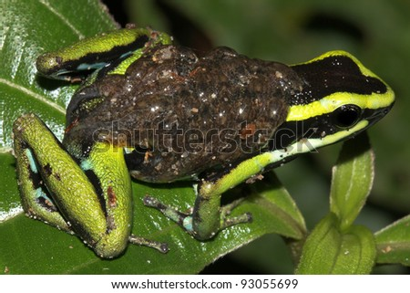 Three-striped Poison Dart Frog (Ameerega trivittata) with TADPOLES on its back in the Peruvian Amazon