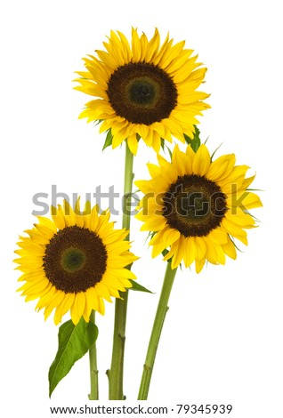 Three sunflower on white background - stock photo