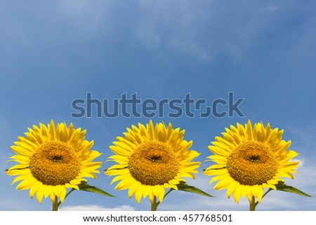 Three Sunflower  on white sky background and copy space
