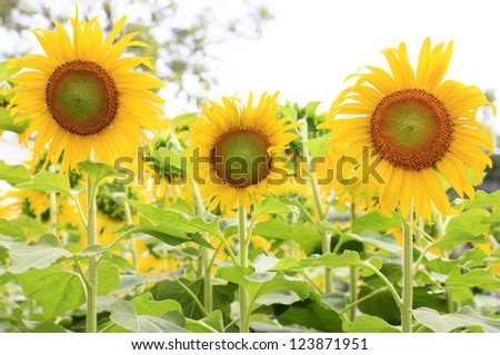 Three sunflowers in a field of sunflowers.