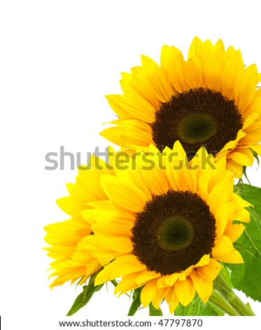three sunflowers isolated on a white background, right corner of a page - stock photo