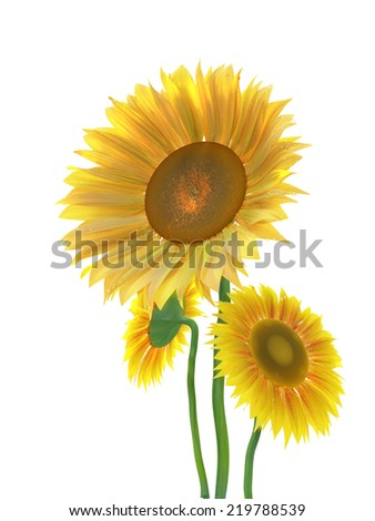 three sunflowers isolated on white background.