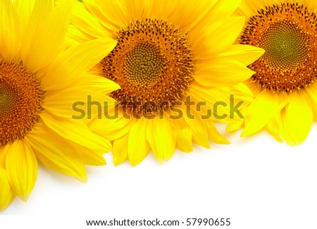 Three sunflowers on white background with copyspase