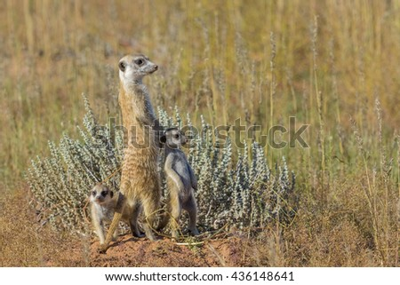 Three suricates on the lookout in the Kgalagadi Transfrontier Park, South Africa