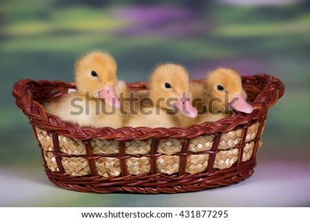 Three sweet little ducklings in the studio - stock photo