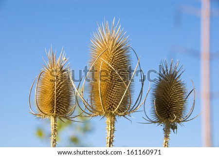 Three teasels in sunlight up close against the sky, with a hazy electric pole in the background - stock photo