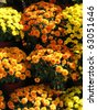 Three tiers of orange and yellow potted chrysanthemums smiling in the late summer afternoon sunshine. - stock photo