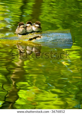 Three tiny common goldeneye (Bucephala clangula) babies - stock photo