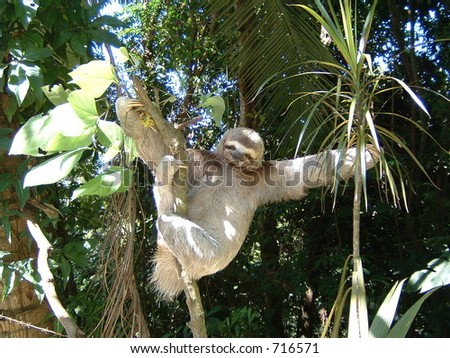 Three Toad Sloth - stock photo