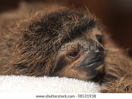 three toe sloth baby, cahuita, costa rica, - stock photo