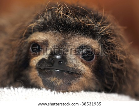 three toe sloth baby, cahuita, costa rica, central america. cute exotic lazy juvenile mammal full frame close up in tropical rainforest latina country osos perezosos - stock photo