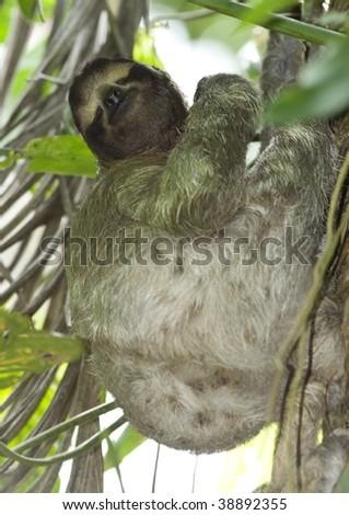 three toe sloth sleeping upright in tree, costa rica - stock photo