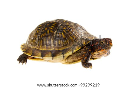 Three-toed Box Turtle (terrapene carolina triunguis) on a white background