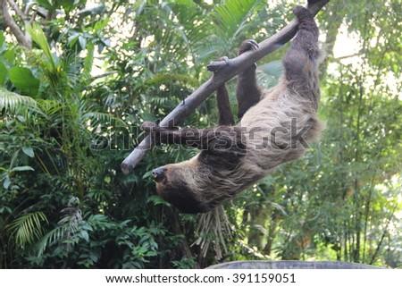 Three-toed sloth (Bradypodidae) - stock photo