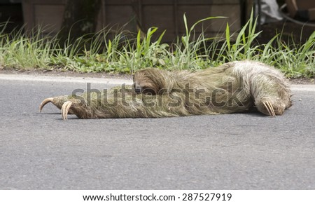 Three-toed sloth (Bradypus Bradypodidae) attempts to cross roadway.  Sloths live most of their lives in the tree canopy and have almost no mobility on the ground.  They can't walk on four legs   - stock photo