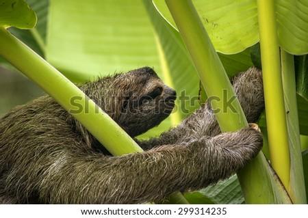 Three-toed Sloth, Costa Rica - stock photo