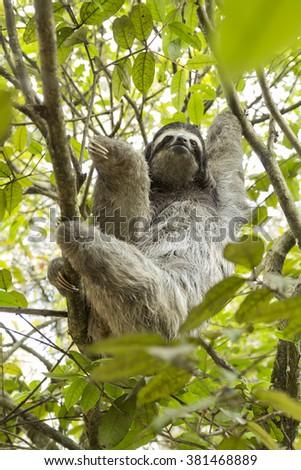 Three-toed sloth in Costa Rica - stock photo