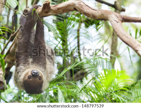 Three-toed Sloth in nature - stock photo