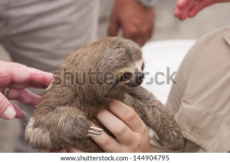 Three-toed sloth in the main market in Iquitos, Peru - stock photo