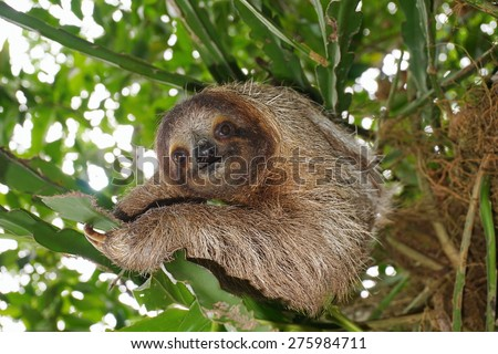 Three-toed sloth looking at camera in the jungle, wild animal, Costa Rica, Central America - stock photo
