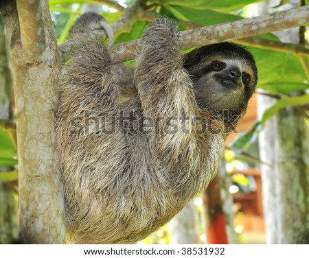 three toed sloth, male juvenile, costa rica - stock photo