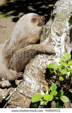 Three toed sloth on the tree, Costa Rica - stock photo