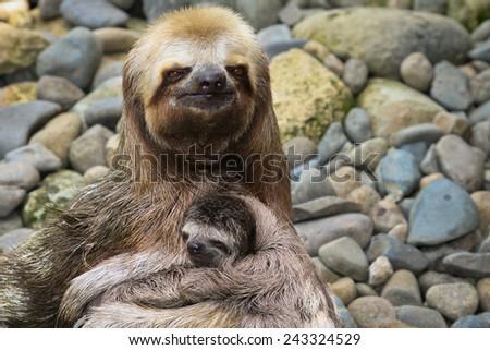 Three-toed Sloth with a Baby, Ecuador - stock photo