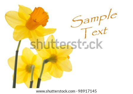 Three Translucent Yellow Daffodils Isolate on White with Copy Space Perfect for an Easter or Mother's Day Card or for any Other Occasion during Spring Time - stock photo
