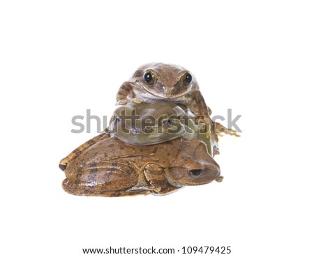 Three Tree frogs in a pile isolated on white background