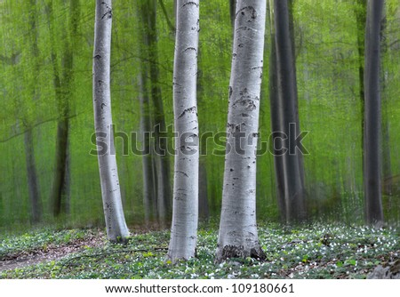 Three tree trunks in magic forest in spring, with anemone flowers on the ground - stock photo