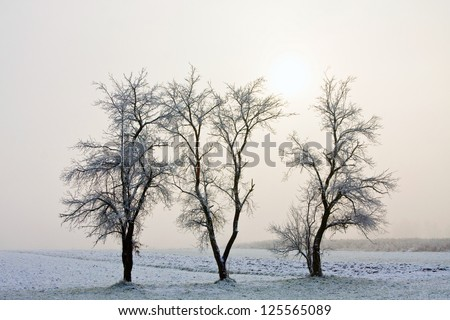 Three trees in winter, covered with frost on a foggy morning - stock photo