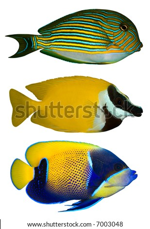Three Tropical Fishes isolated on white - stock photo