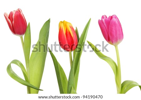 Three tulip flowers and leaves isolated against a white background