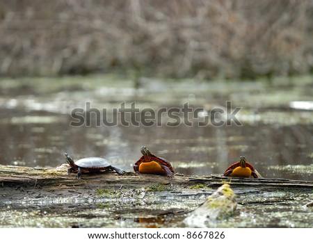 Three turtles on a log - stock photo