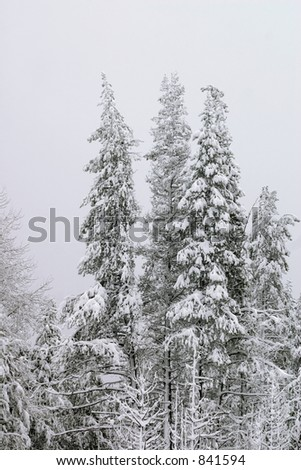 Three very cold trees after fresh snow. - stock photo
