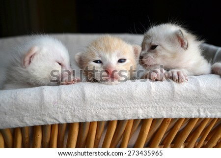 Three very small tiny kittens peeking out of a basket - stock photo