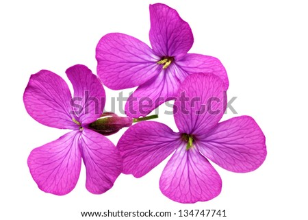 Three  violet flowers.Closeup on white background. Isolated. - stock photo