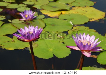 three water lilies in a botanical pond - stock photo