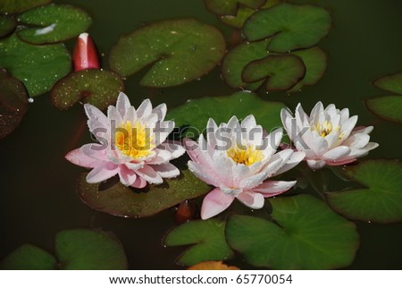 three water lillies after rain - stock photo