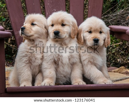 Three 8-week-old Golden Retriever litter mates sitting on a wooden chair looking to the front and right - stock photo
